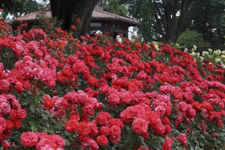 گل رز فلوریبوندا