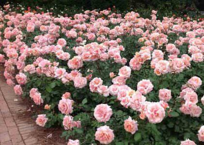 گل رز گراندیفلورا