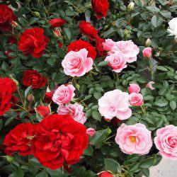 گل پاسیویی